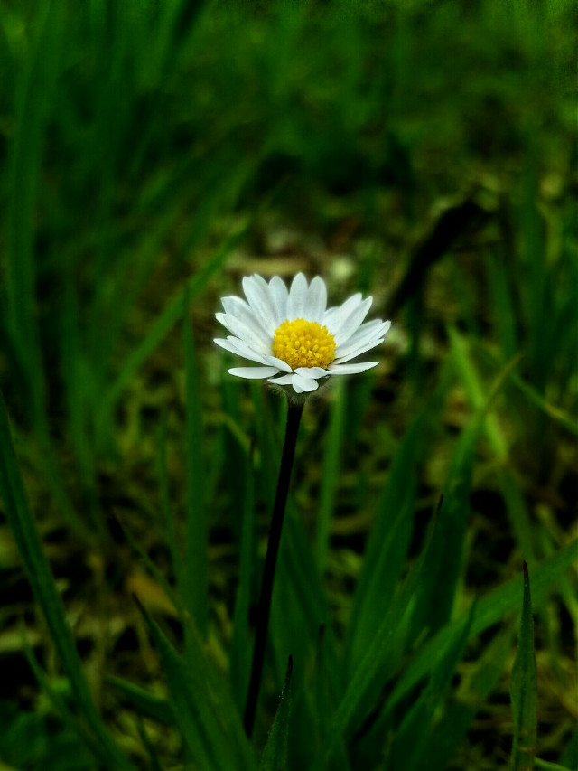 A little flower for you :)  Happy Friday! 🌻 🌼   #flower  #blossom  #nature  #daisy  #green  #spring