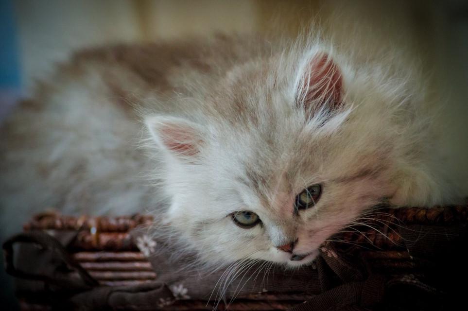#FreeToEdit  #cat #pets&animals #petsandanimals #photography #cute #kitten