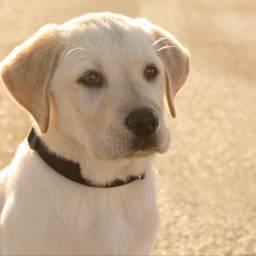 marley love doggy modelforaday labrador