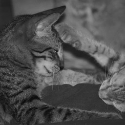 photogaphy pets animals cats kittens cute resting siblings siblinglove playful blackandwhite bnw bw bw_lover picoftheday photooftheday bw_photooftheday catsofpicsart