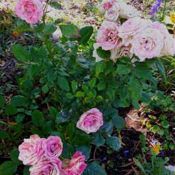 nature flower rose pink green