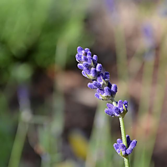 #lavender #lonely #single #flower #FreeToEdit