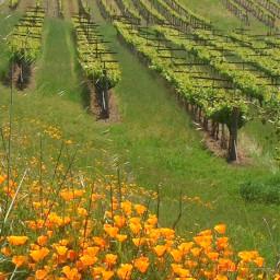 napavalley vineyard flowers naturephotography