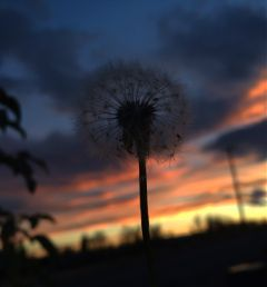 dandelion sunset sky colorful seeds