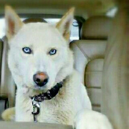 husky blueeyes whitedog adorable pets freetoedit