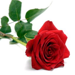 freetoedit rose redrose beautifulrose beautiful