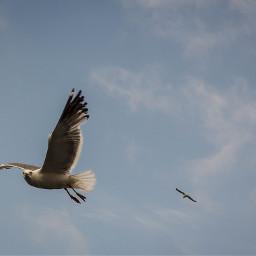 grumpy sevan lake seagull freetoedit