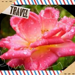 susan bundy photo rose flower