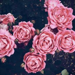 simplelove roses pink flowers quiet FreeToEdit