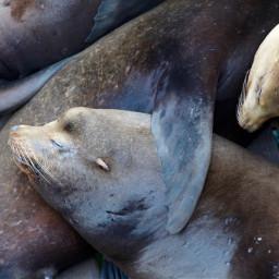 freetoedit santacruz sealions family sleeping