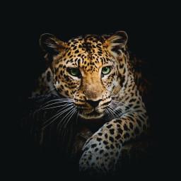 animals background bigcat freetoedit